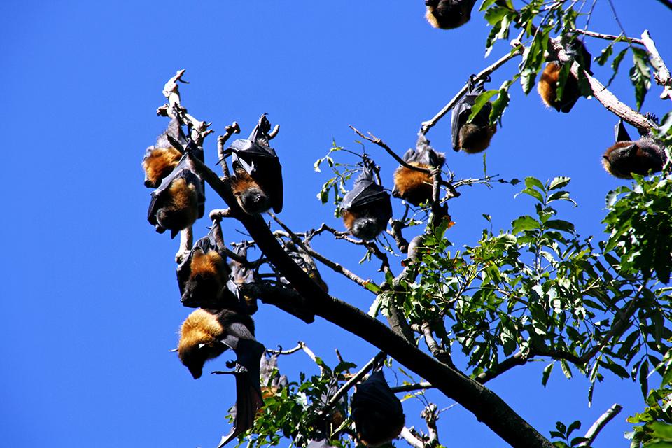 chauve-souris-flying-foxes-sydney-australie-02