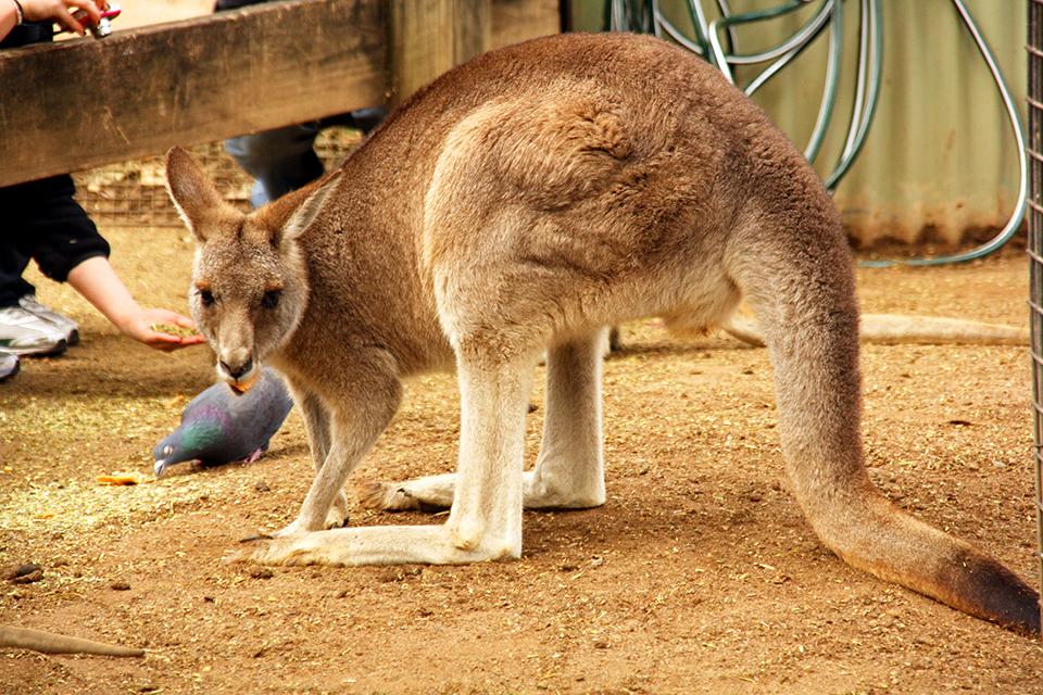 kangourou-featherdale-wildlife-park-australie-05