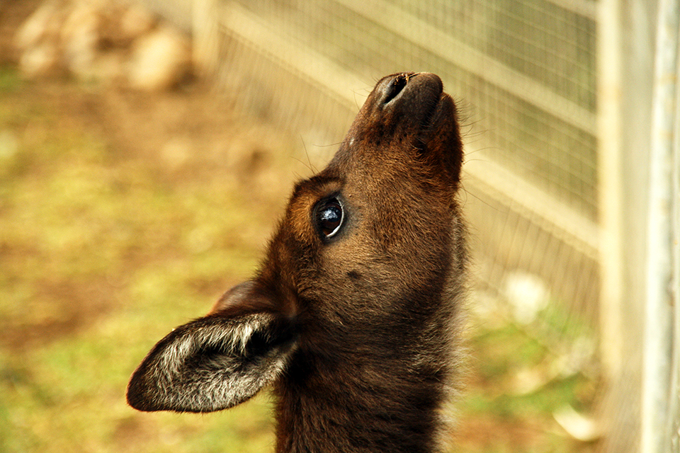 kangourou-featherdale-wildlife-park-australie-10