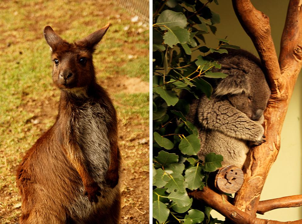 kangourou-koala-featherdale-wildlife-park-australie-13