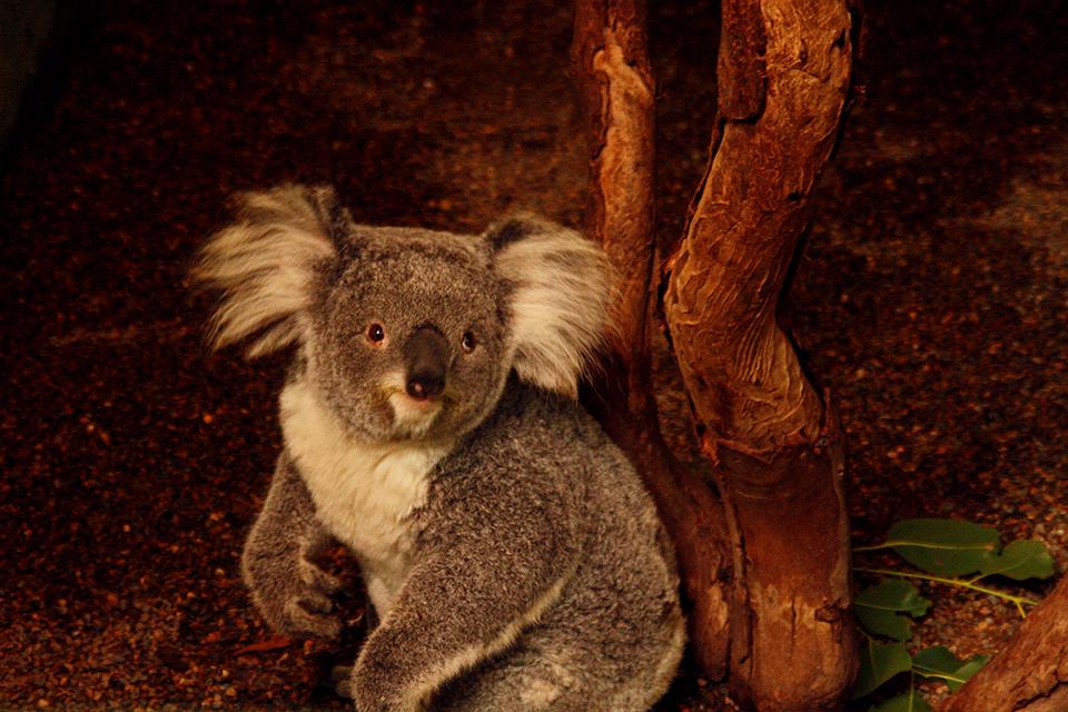 koala-featherdale-wildlife-park-australie-01