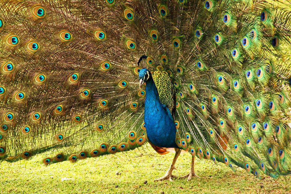 paon-peacock-featherdale-wildlife-park-australie-09