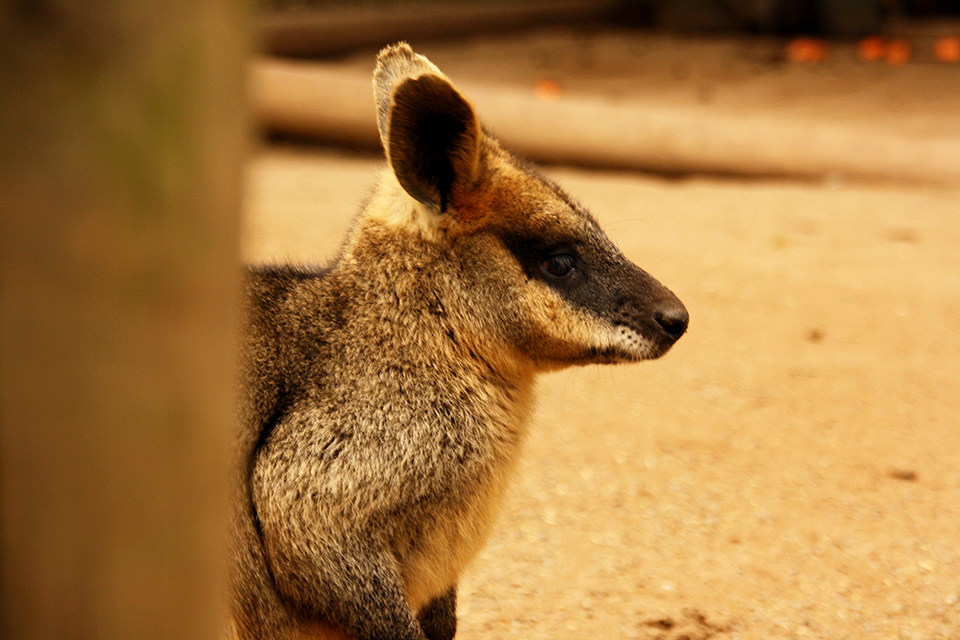 wallaby-featherdale-wildlife-park-australie-01