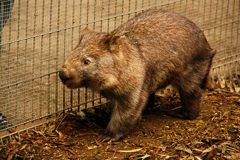 wombat-featherdale-wildlife-park-australie-12