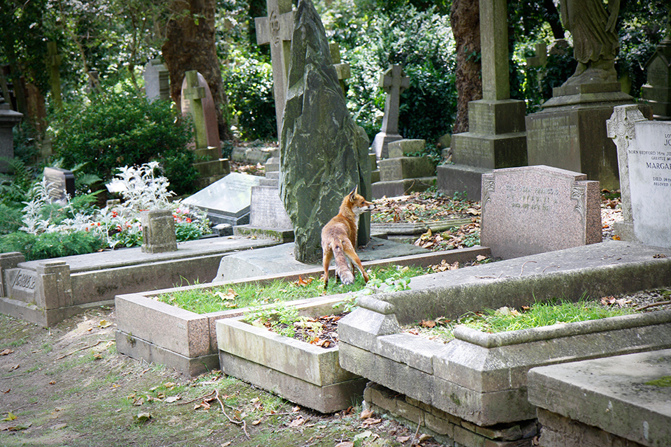londres-highgate-cemetery-renard-fox-02
