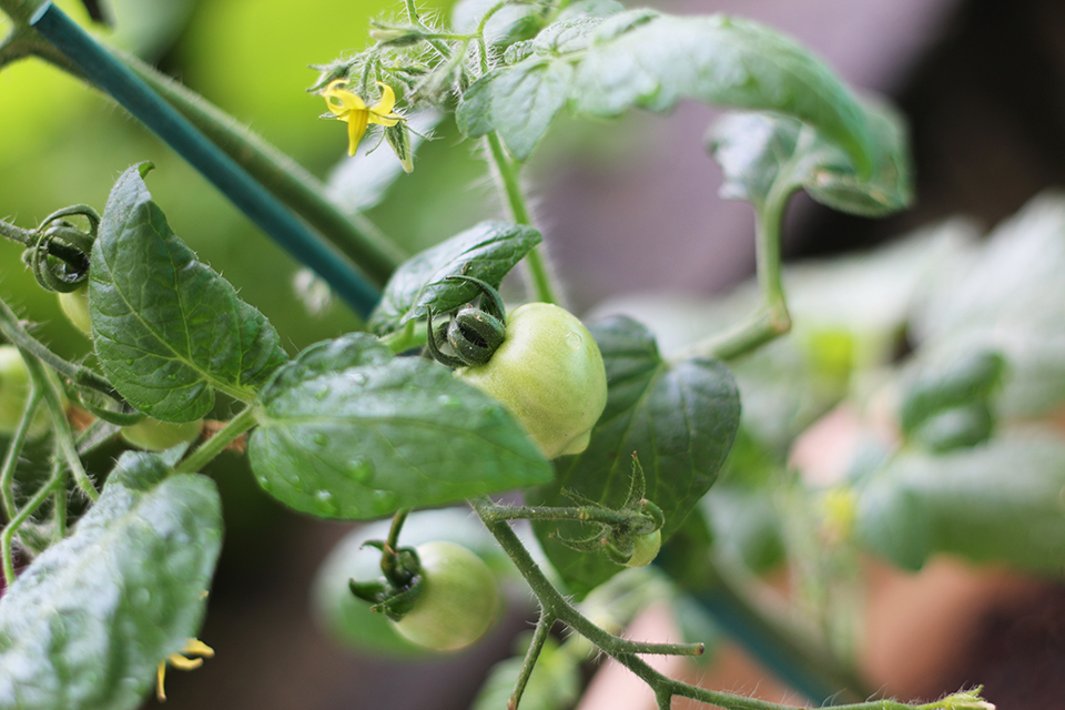 tomates-heartbreaker-truffaut