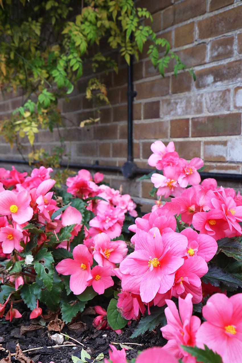 fleurs-roses-londres