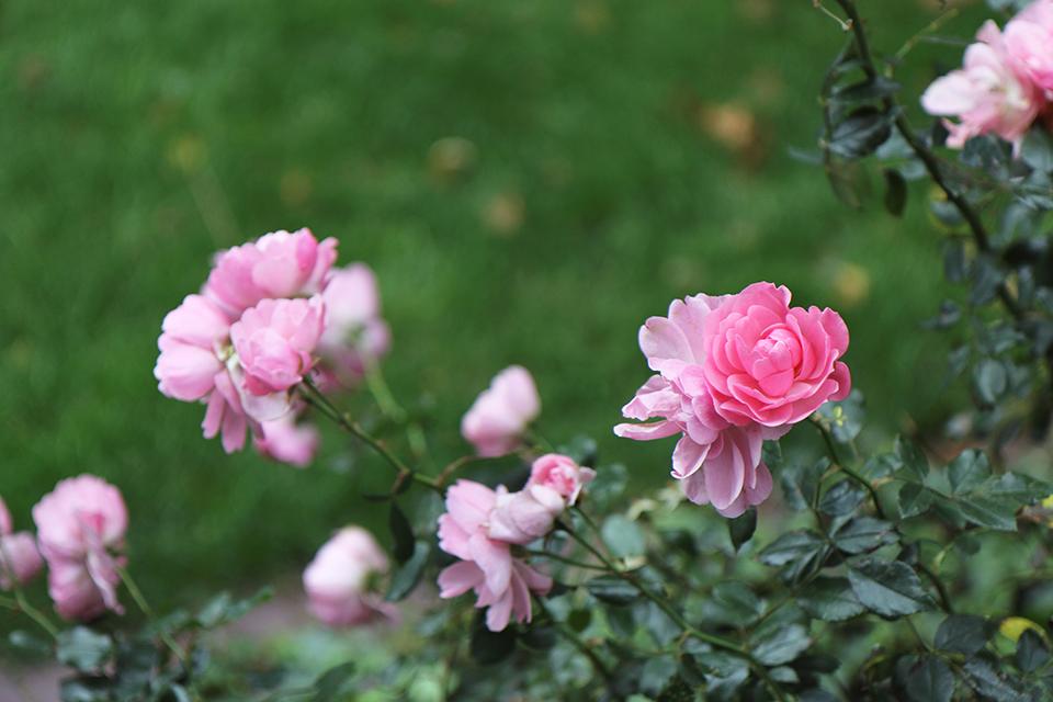 londres-fleurs-roses-01