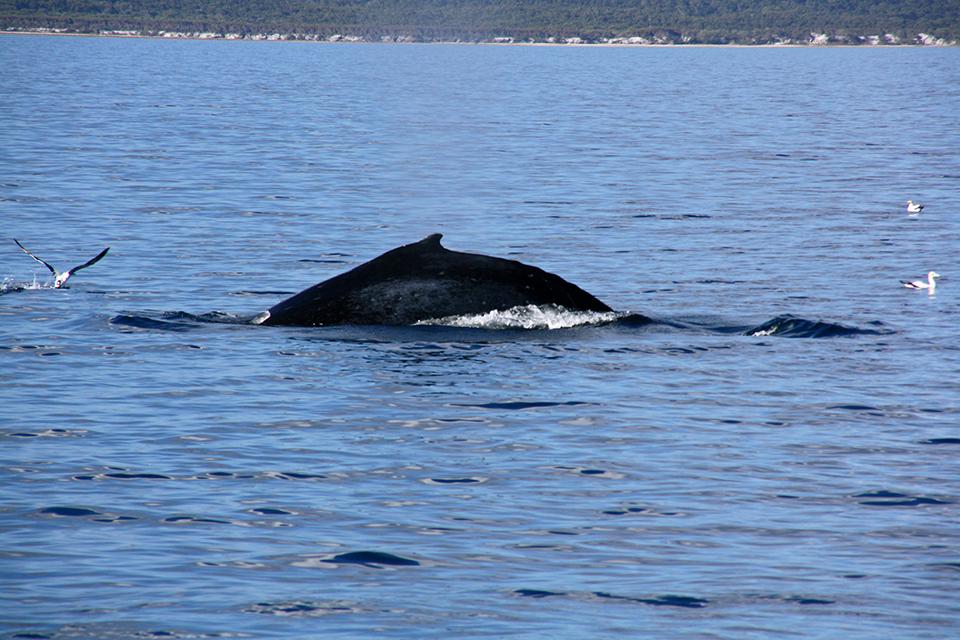 baleines-hervey-bay-australie-11