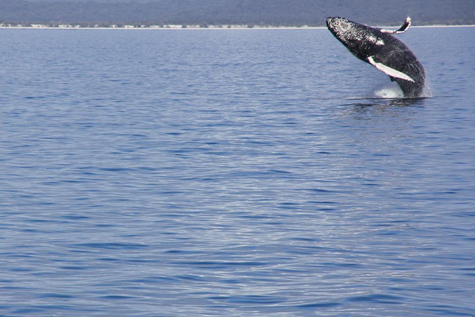 baleines-hervey-bay-australie-12