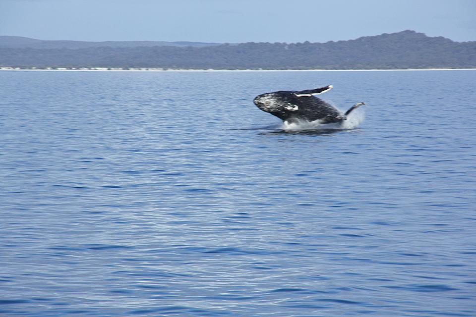 baleines-hervey-bay-australie-13