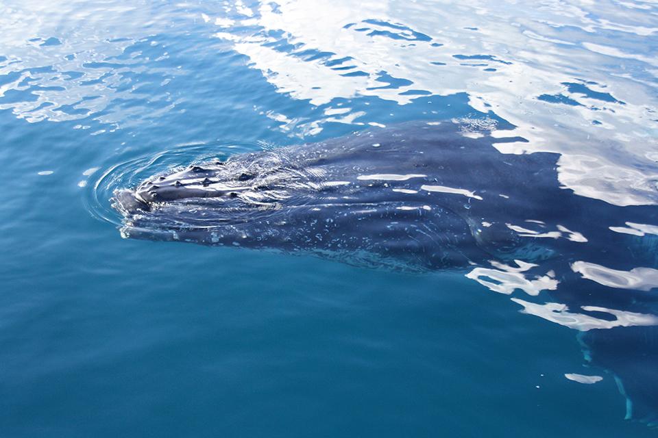 baleines-hervey-bay-australie-16