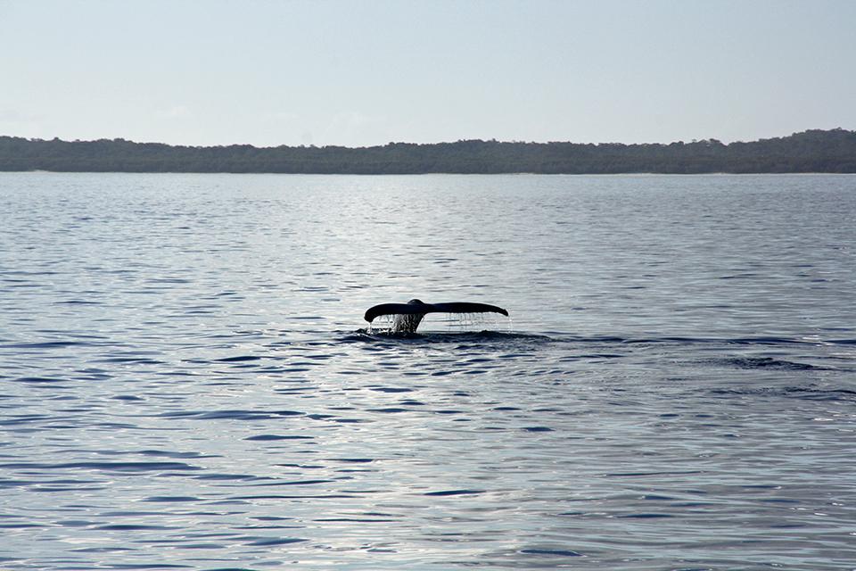 baleines-hervey-bay-australie-19