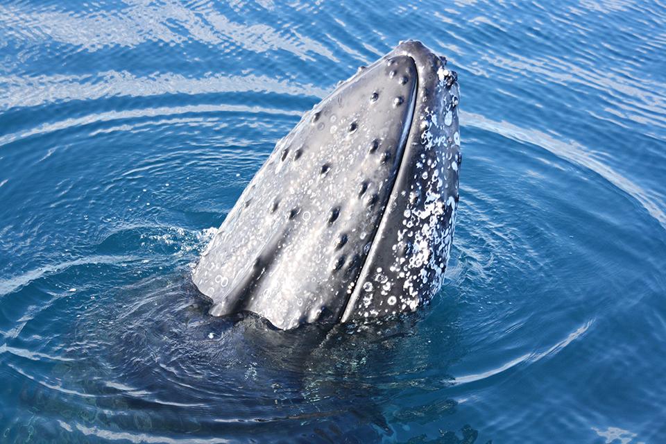 baleines-hervey-bay-australie-20