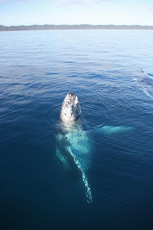 baleines-hervey-bay-australie-21