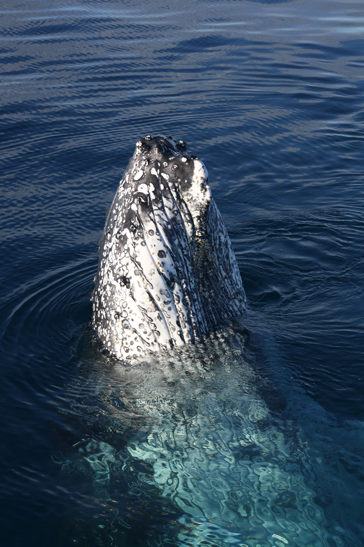 baleines-hervey-bay-australie-22