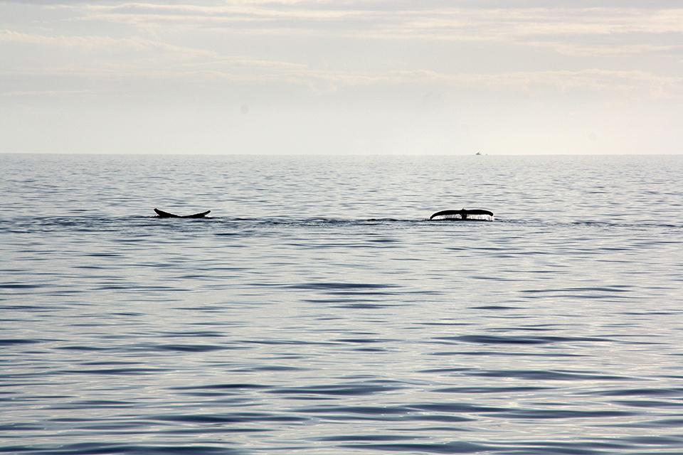 baleines-hervey-bay-australie-25