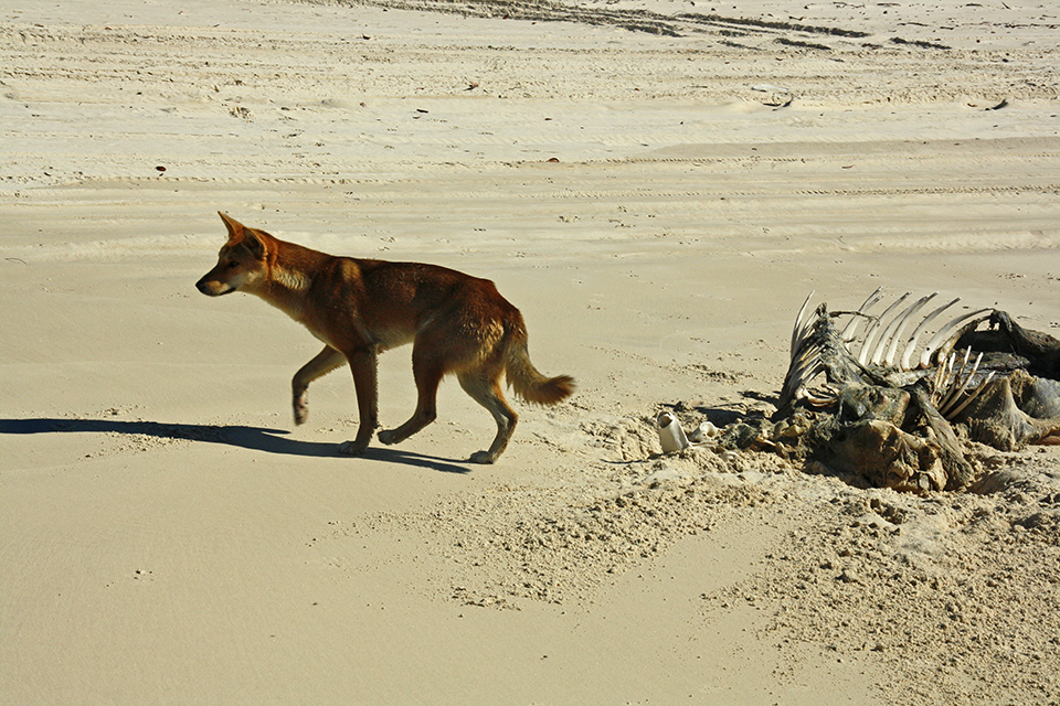 dingo-fraser-island-australie-01