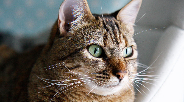 chat devient adulte quel age drancy
