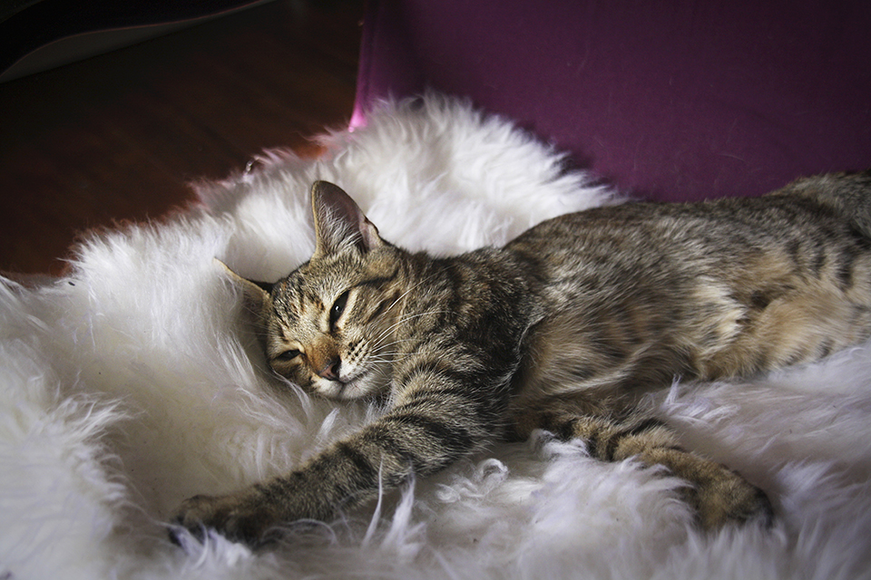 chat-tigre-tabby-cat-lena-02