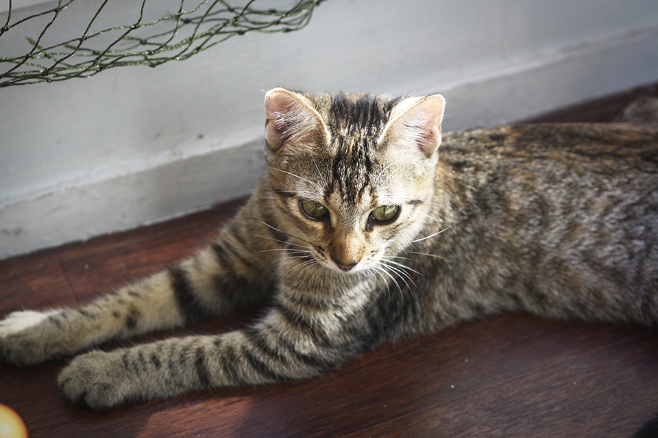 chat-tigre-tabby-cat-lena-10