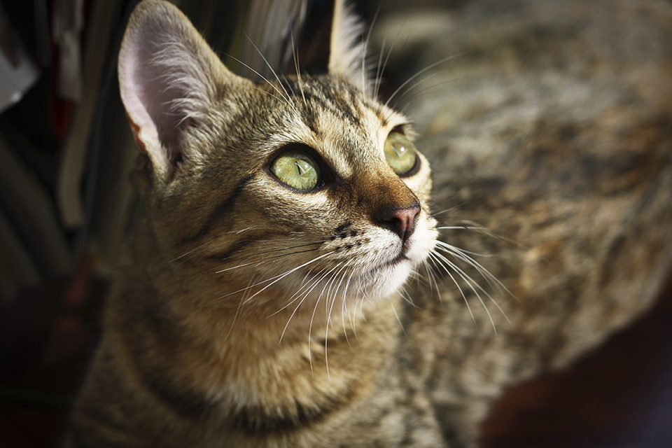 chat-tigre-tabby-cat-lena-13