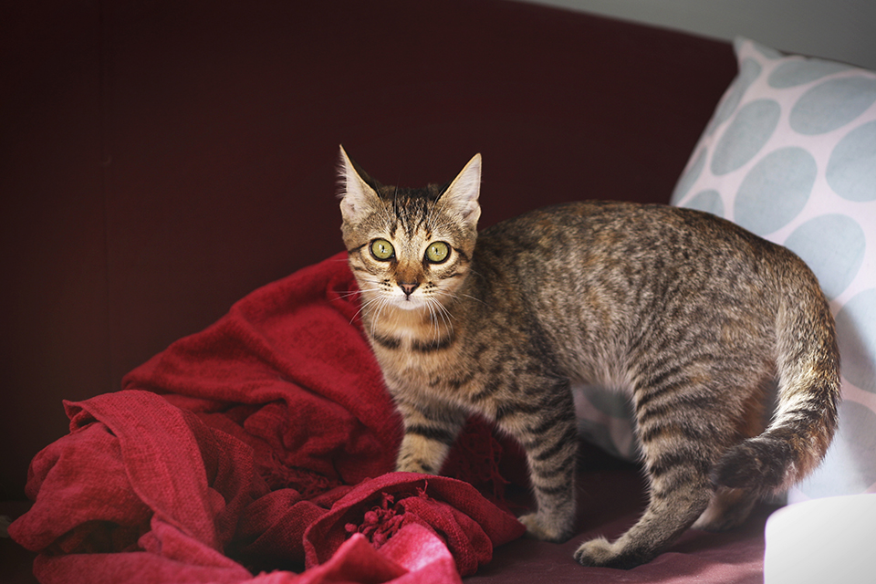 chat-tigre-tabby-cat-lena-18
