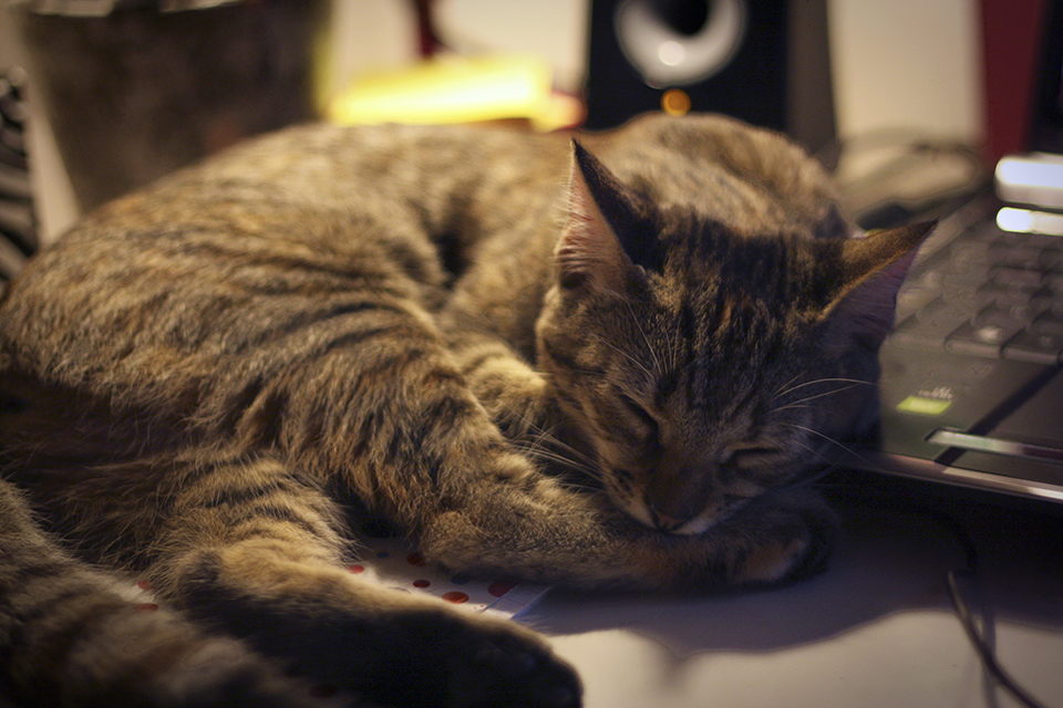 chat-tigre-tabby-cat-lena-24