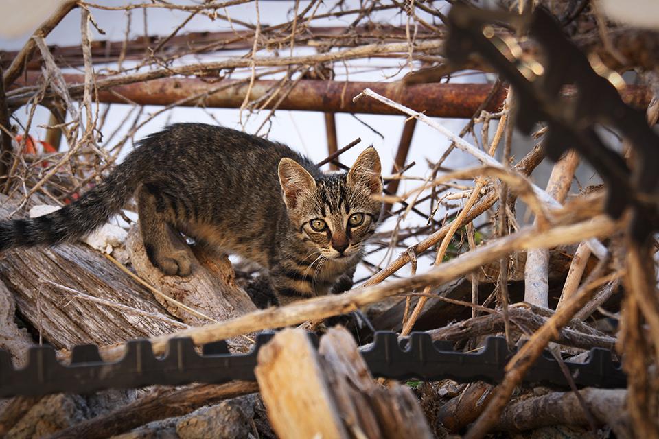 chats-grecs-cyclades-08