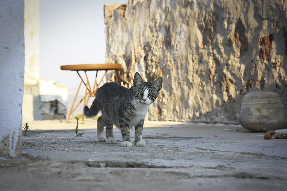 chats-grecs-cyclades-10
