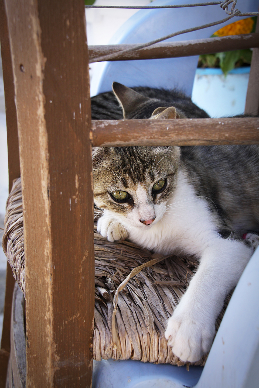 chats-grecs-cyclades-15