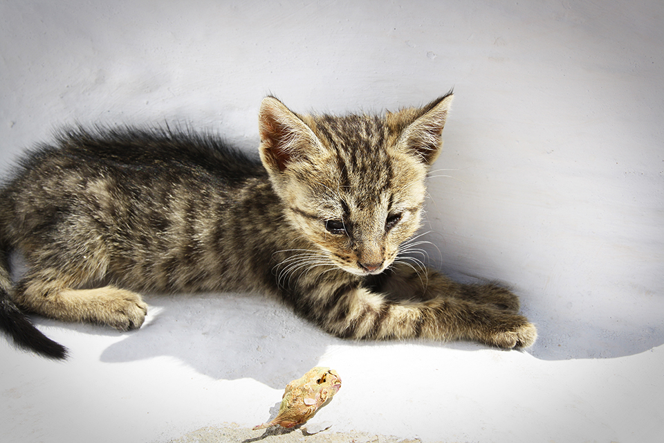chats-grecs-cyclades-18